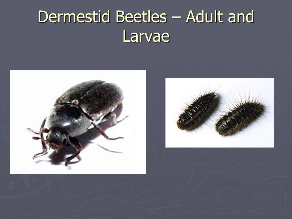 Dermestid Beetles – Adult and Larvae