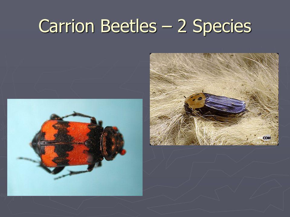 Carrion Beetles – 2 Species