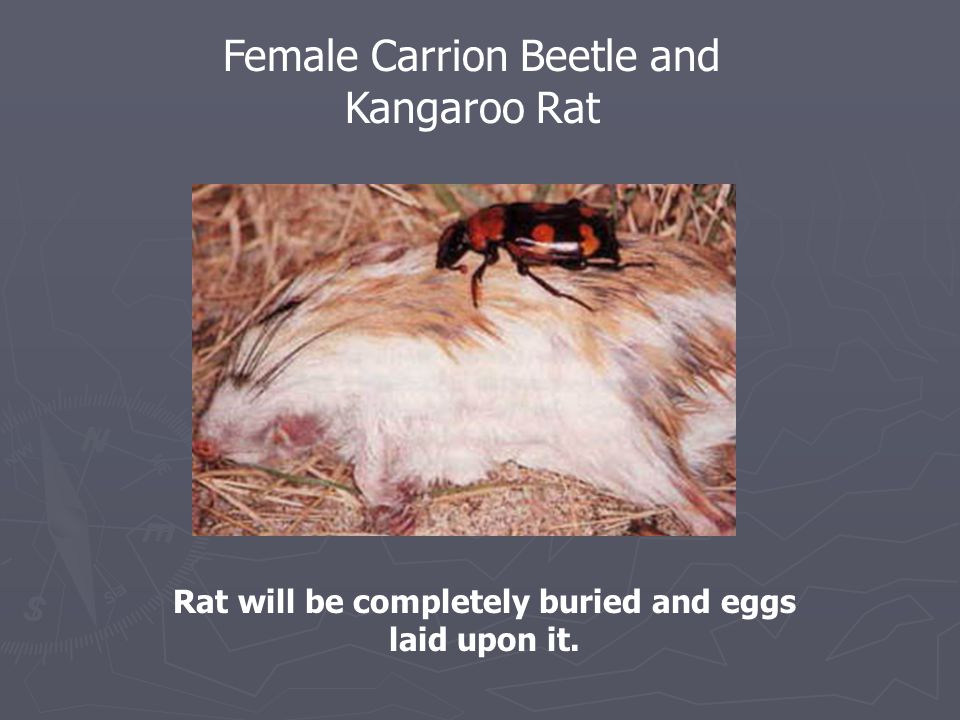 Rat will be completely buried and eggs laid upon it.
