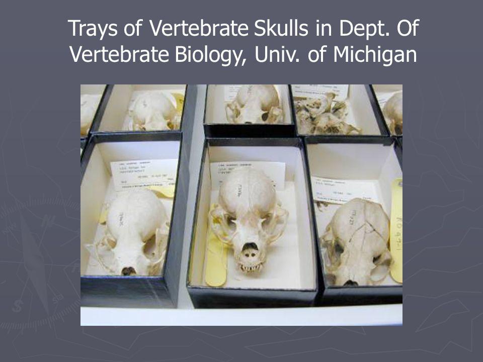 Trays of Vertebrate Skulls in Dept. Of Vertebrate Biology, Univ