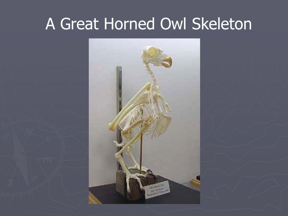 A Great Horned Owl Skeleton