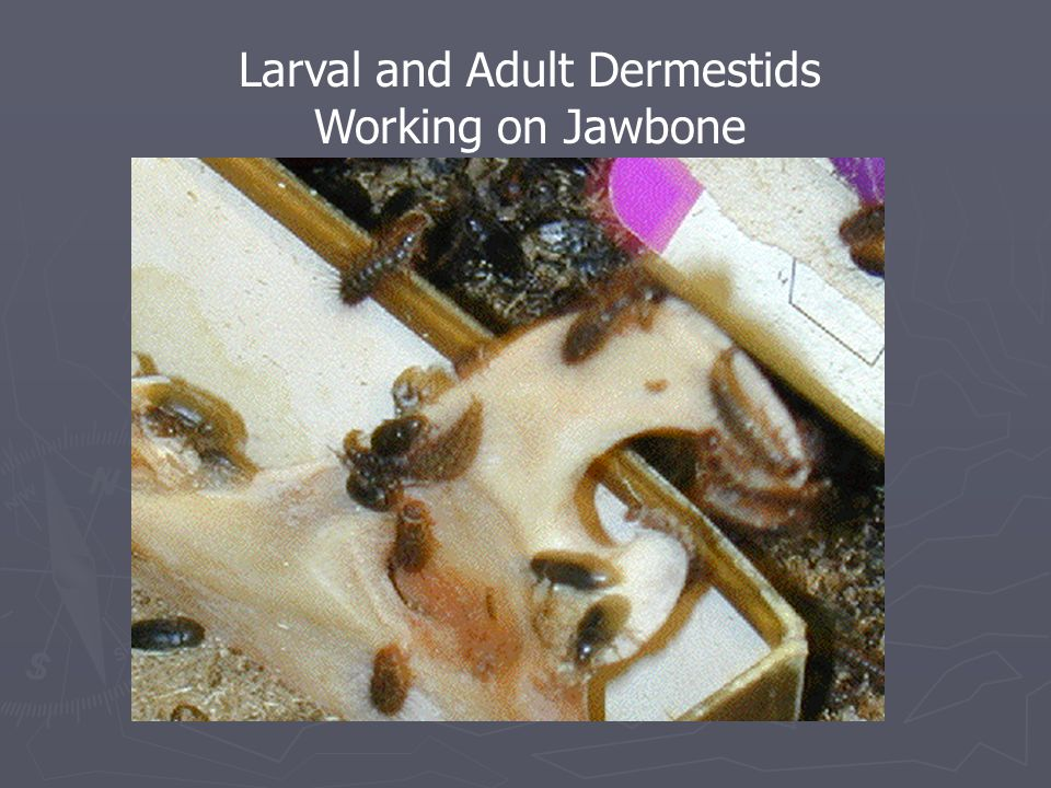 Larval and Adult Dermestids Working on Jawbone