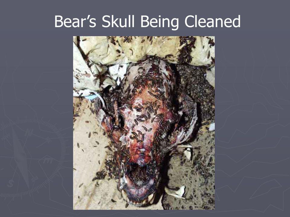 Bear's Skull Being Cleaned