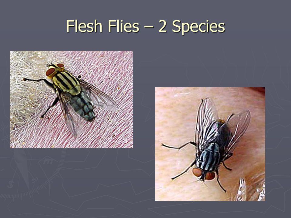 Flesh Flies – 2 Species