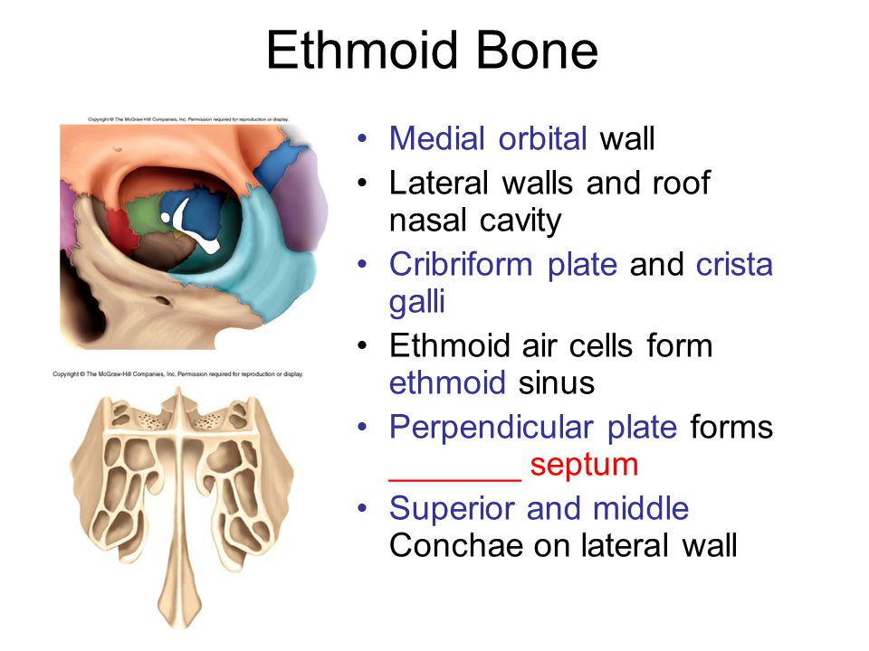 Ethmoid Bone Medial orbital wall Lateral walls and roof nasal cavity