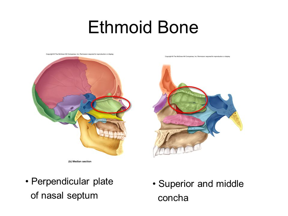 Ethmoid Bone Perpendicular plate Superior and middle of nasal septum