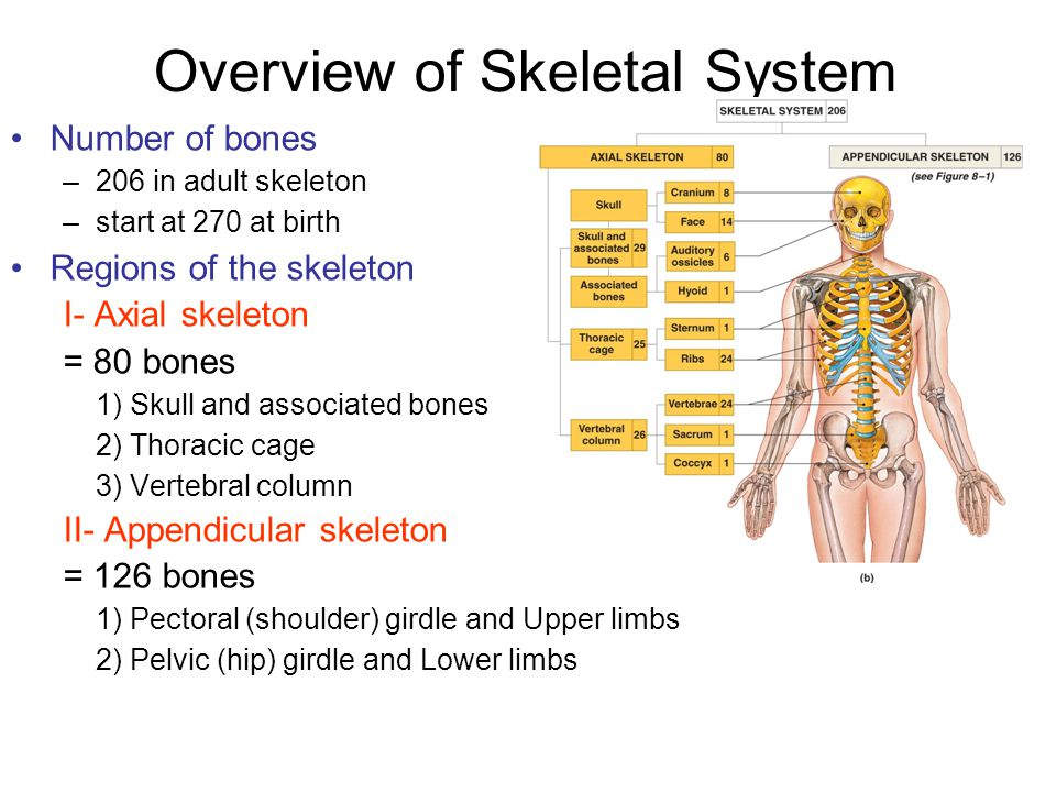 Overview of Skeletal System
