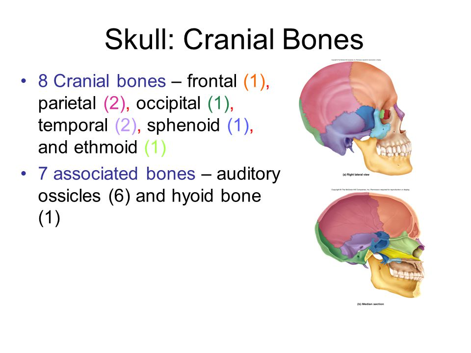 Skull: Cranial Bones 8 Cranial bones – frontal (1), parietal (2), occipital (1), temporal (2), sphenoid (1), and ethmoid (1)