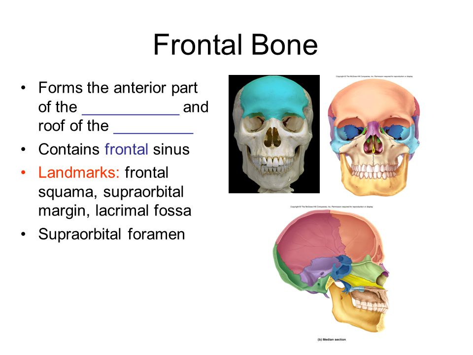 Frontal Bone Forms the anterior part of the ___________ and roof of the _________. Contains frontal sinus.