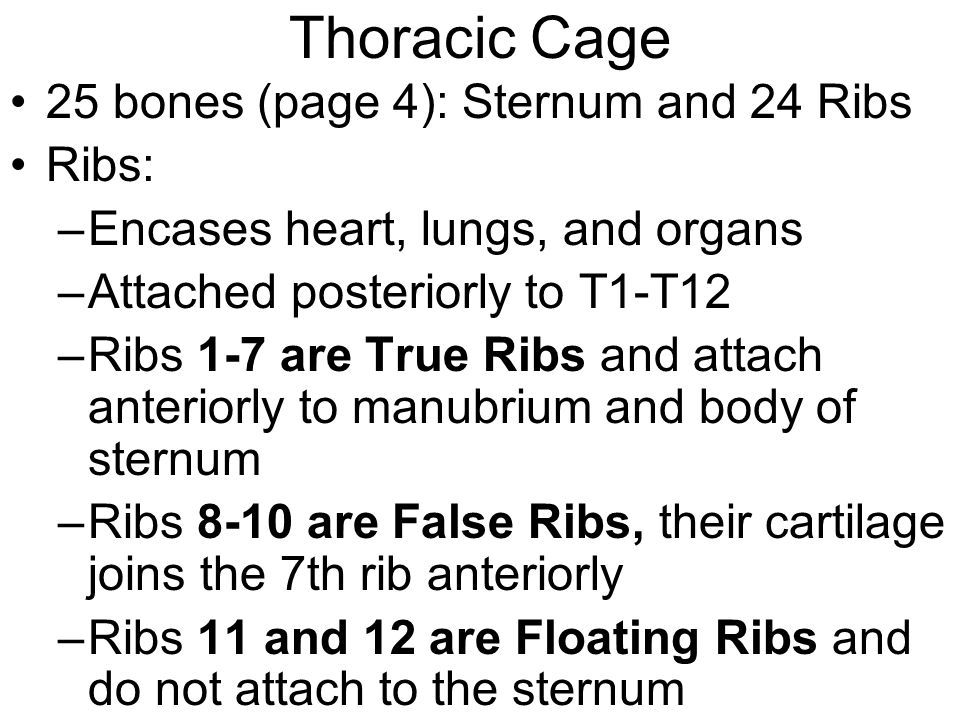 Thoracic Cage 25 bones (page 4): Sternum and 24 Ribs Ribs: