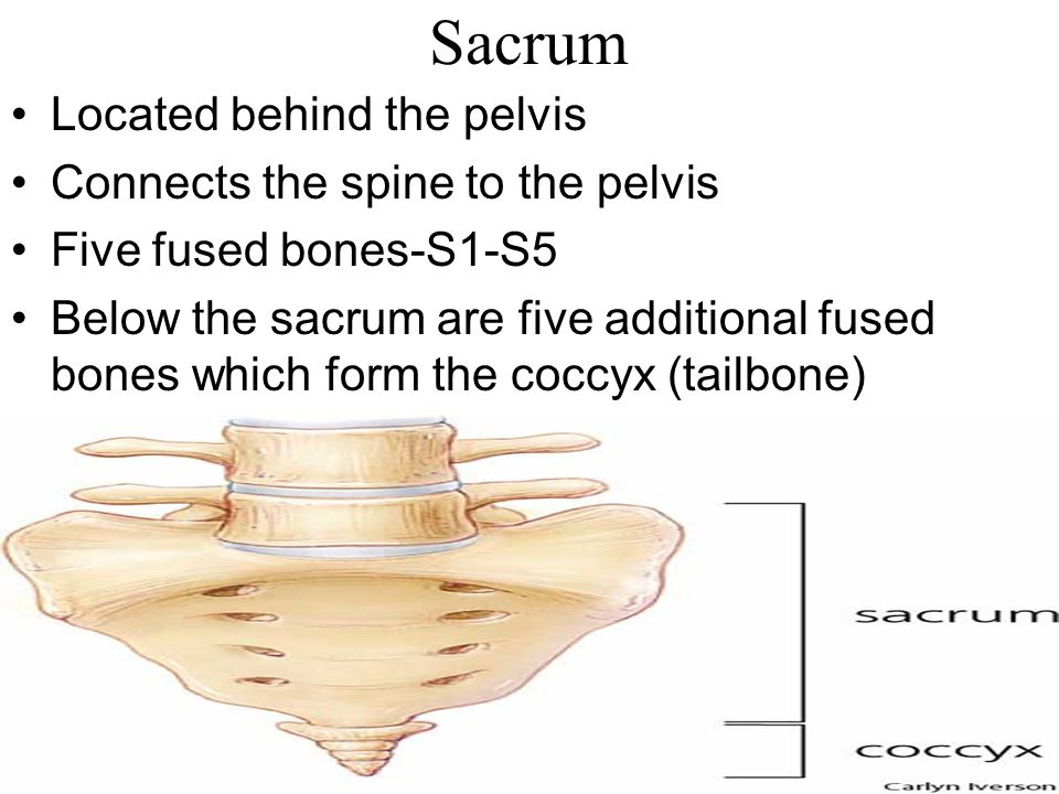 Sacrum Located behind the pelvis Connects the spine to the pelvis