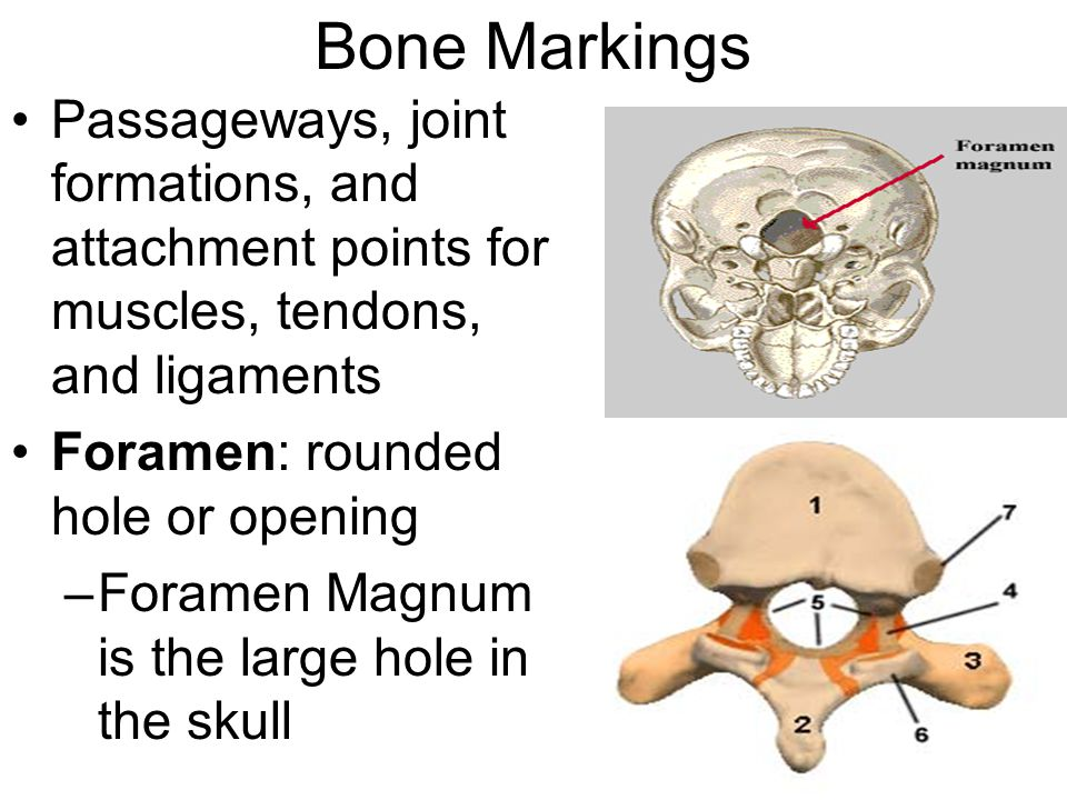 Bone Markings Passageways, joint formations, and attachment points for muscles, tendons, and ligaments.
