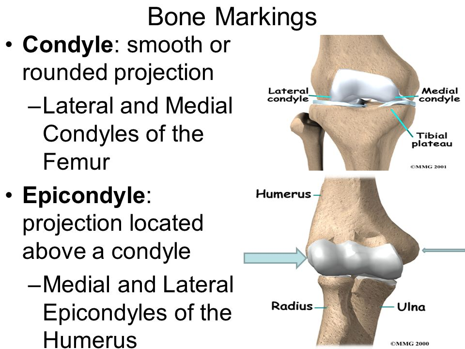 Bone Markings Condyle: smooth or rounded projection