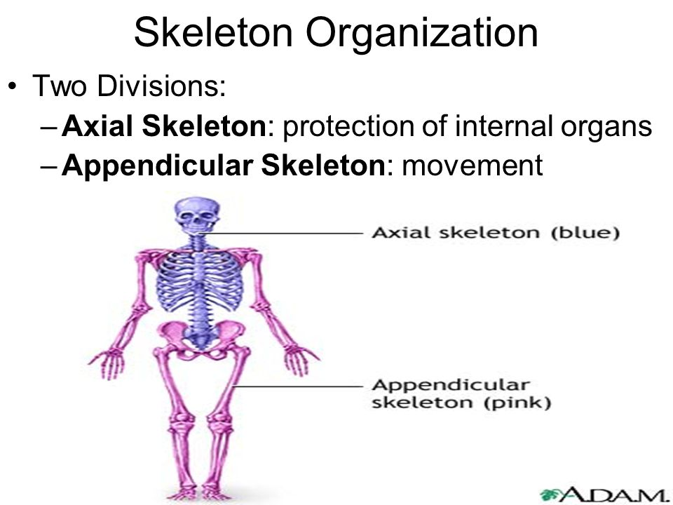 Skeleton Organization