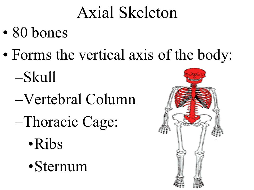 Axial Skeleton 80 bones Forms the vertical axis of the body: Skull