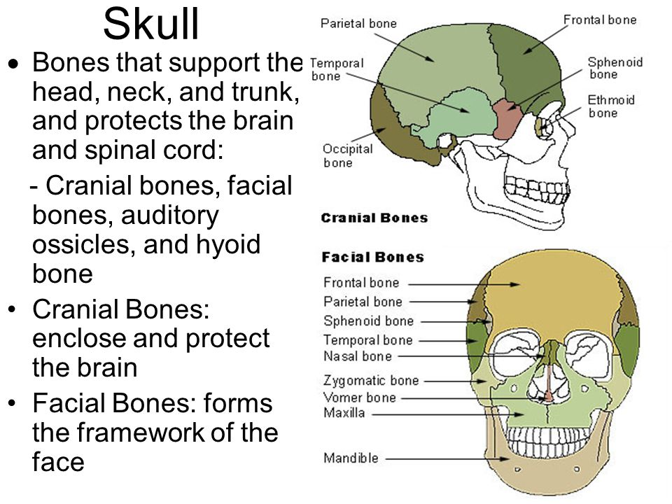 Skull Bones that support the head, neck, and trunk, and protects the brain and spinal cord: