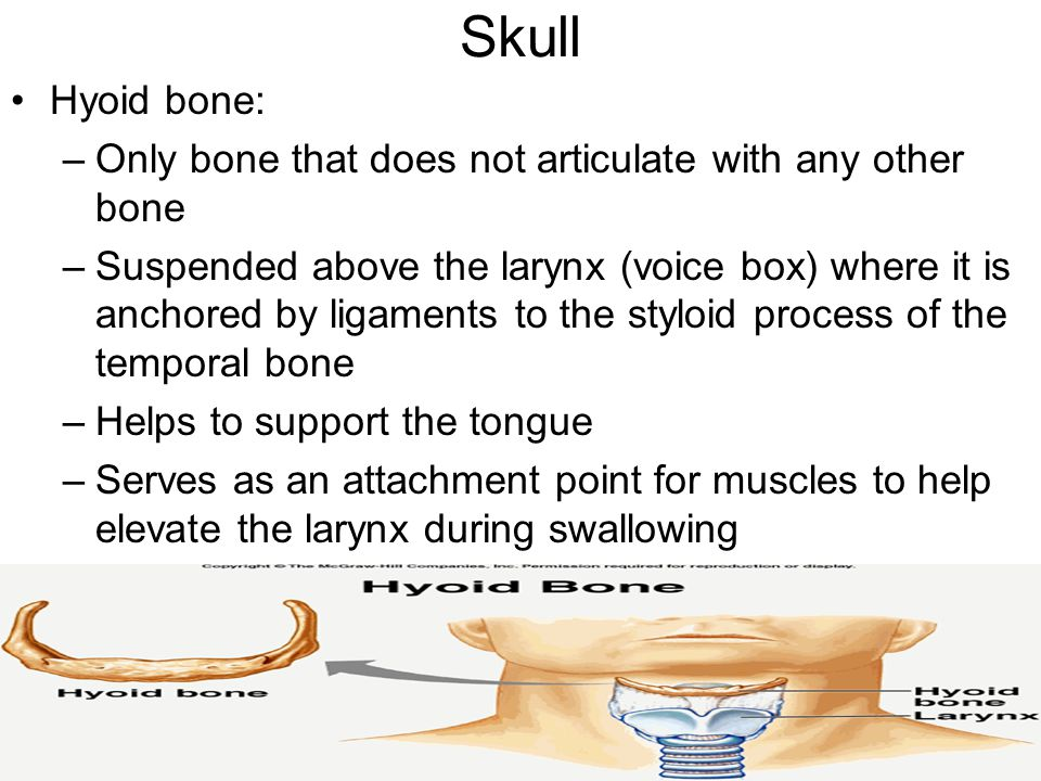 Skull Hyoid bone: Only bone that does not articulate with any other bone.