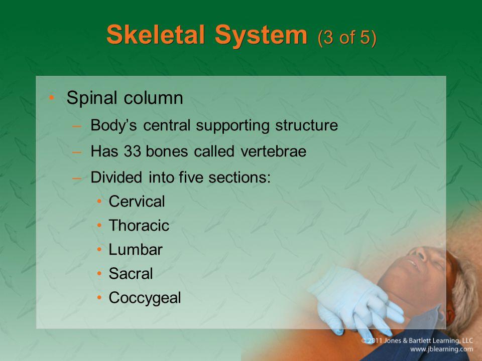Skeletal System (3 of 5) Spinal column