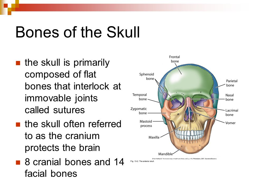Bones of the Skull the skull is primarily composed of flat bones that interlock at immovable joints called sutures.