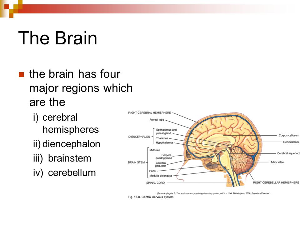 The Brain the brain has four major regions which are the