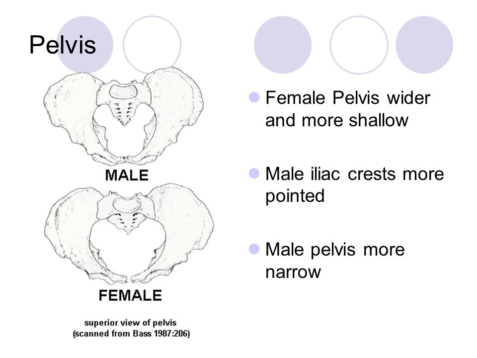 Pelvis Female Pelvis wider and more shallow