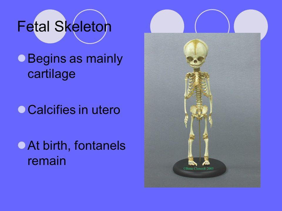 Fetal Skeleton Begins as mainly cartilage Calcifies in utero