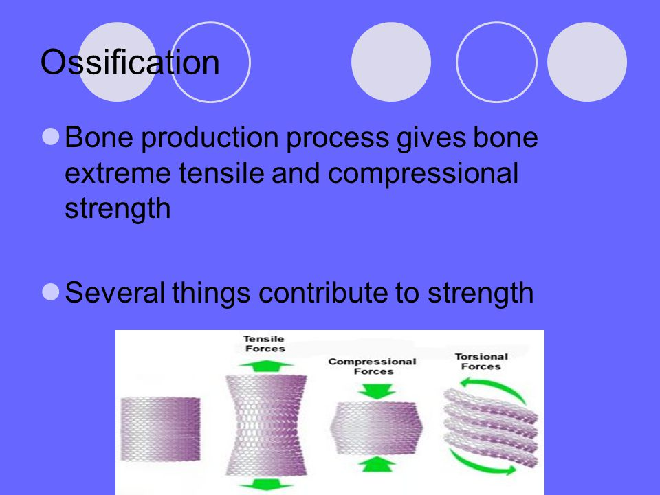Ossification Bone production process gives bone extreme tensile and compressional strength.