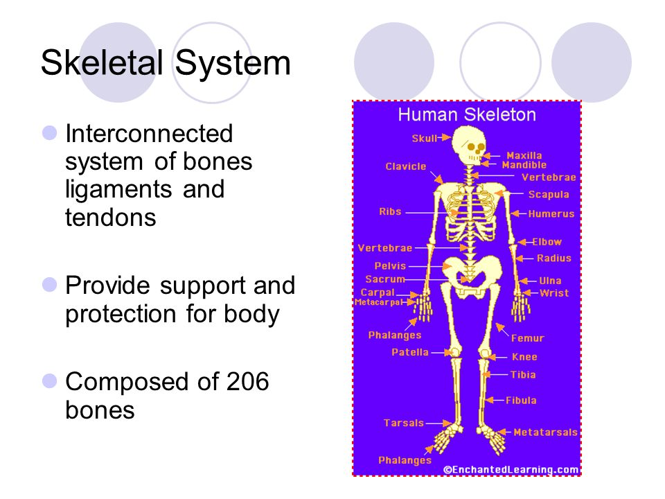 Skeletal System Interconnected system of bones ligaments and tendons