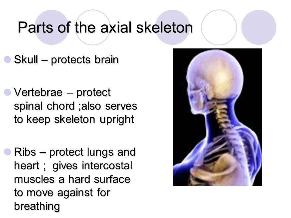 Parts of the axial skeleton
