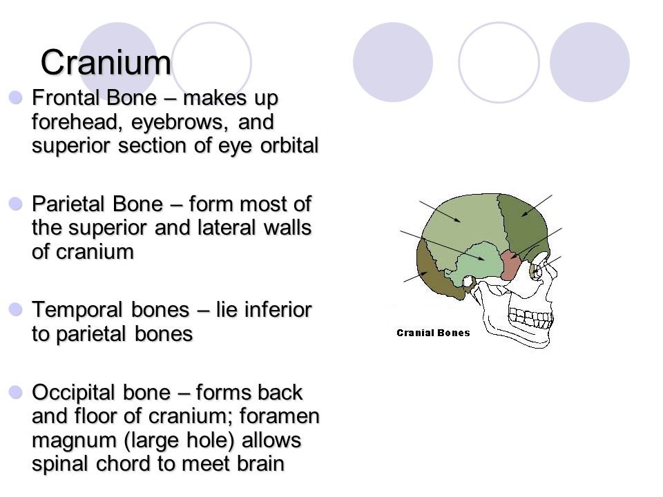 Cranium Frontal Bone – makes up forehead, eyebrows, and superior section of eye orbital.
