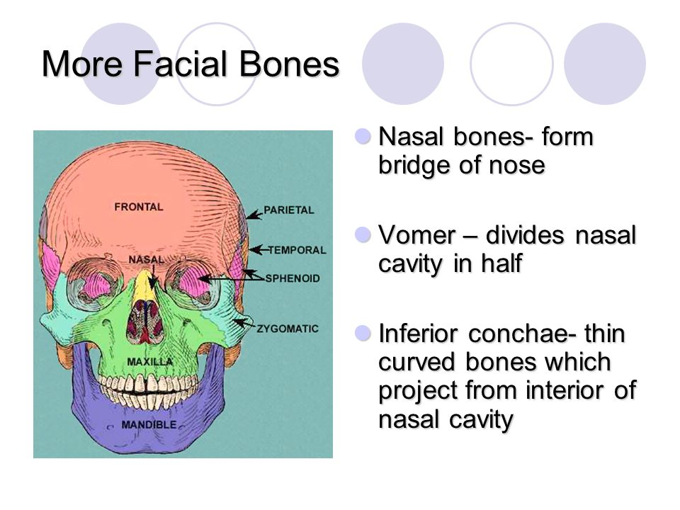 More Facial Bones Nasal bones- form bridge of nose
