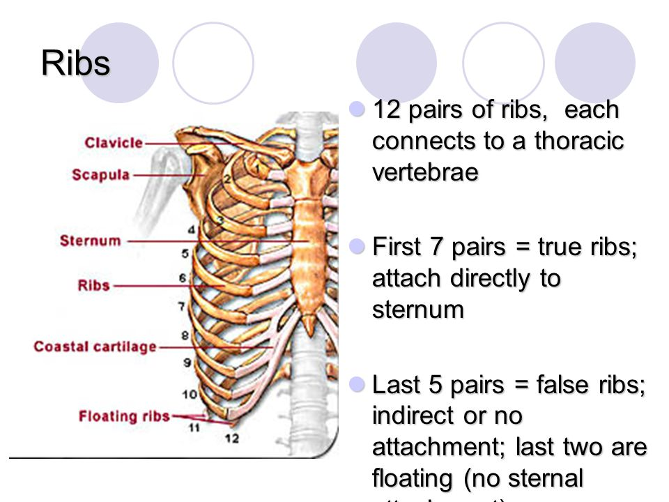 The skeletal system is made of