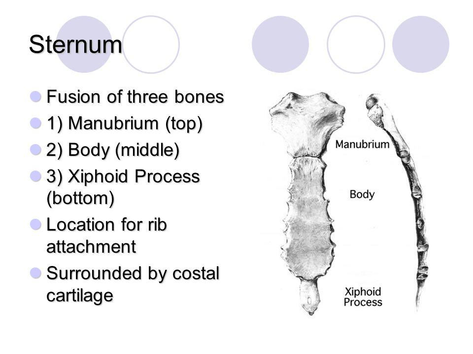 Sternum Fusion of three bones 1) Manubrium (top) 2) Body (middle)