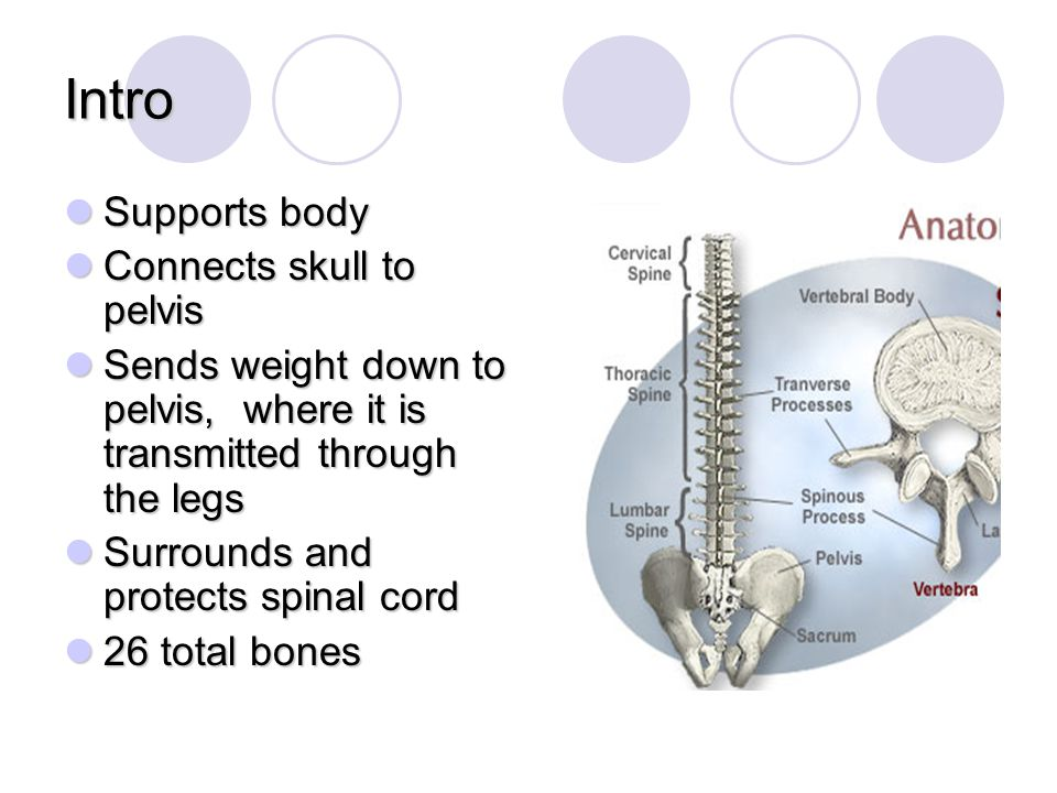Intro Supports body Connects skull to pelvis