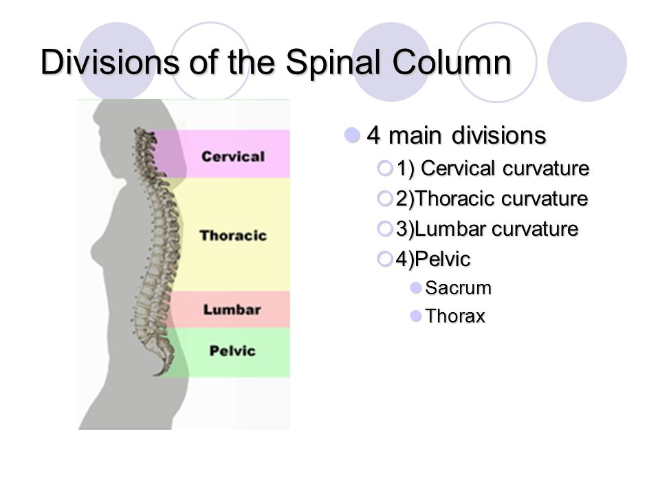 Divisions of the Spinal Column