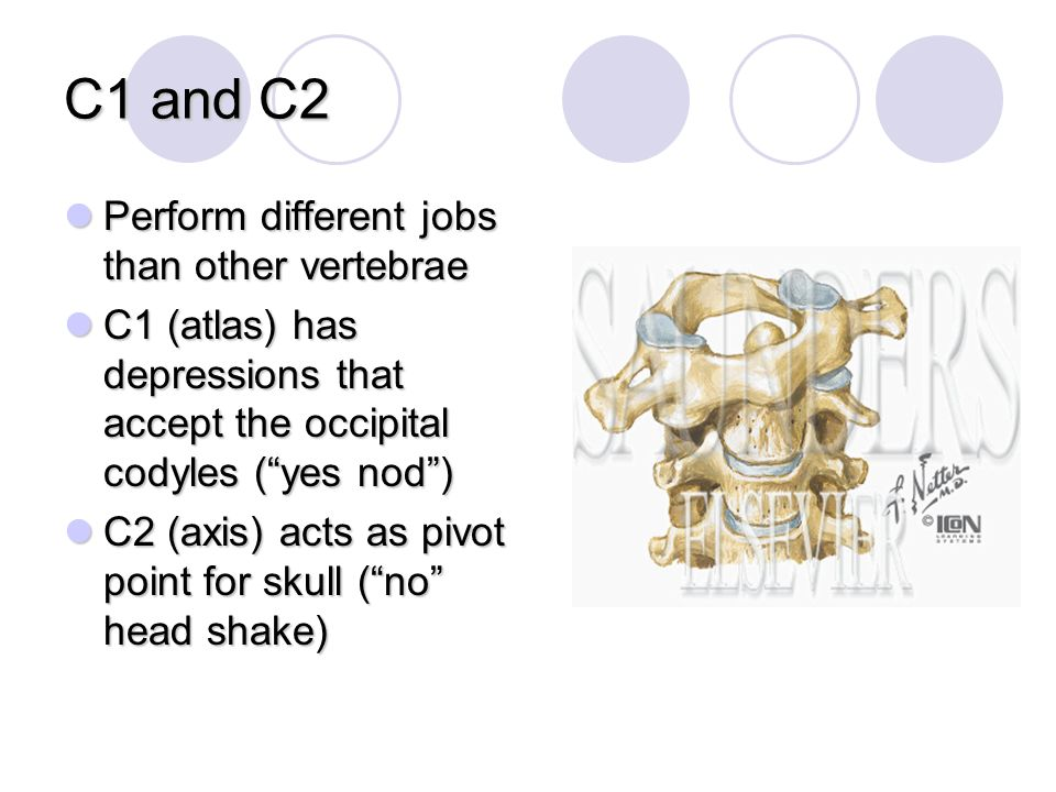 C1 and C2 Perform different jobs than other vertebrae