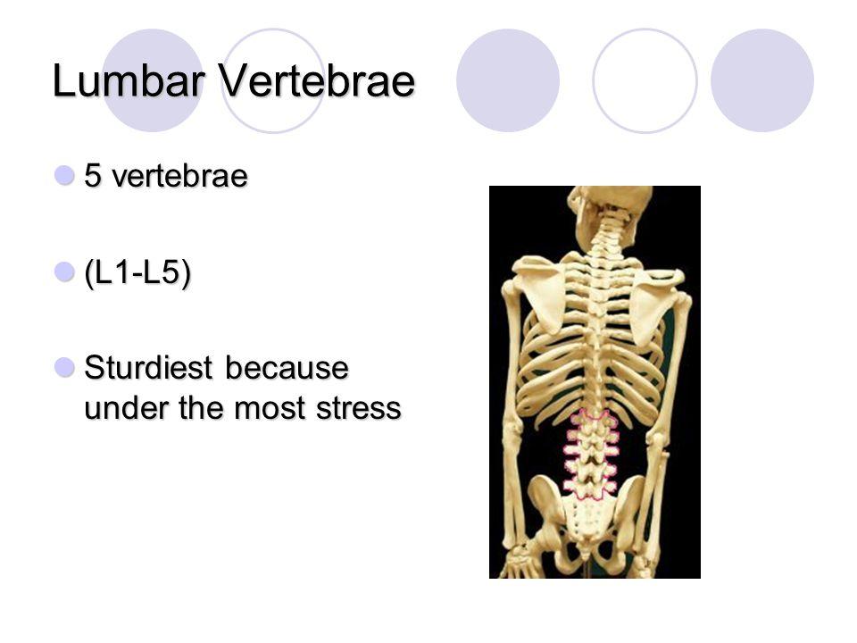 Lumbar Vertebrae 5 vertebrae (L1-L5)