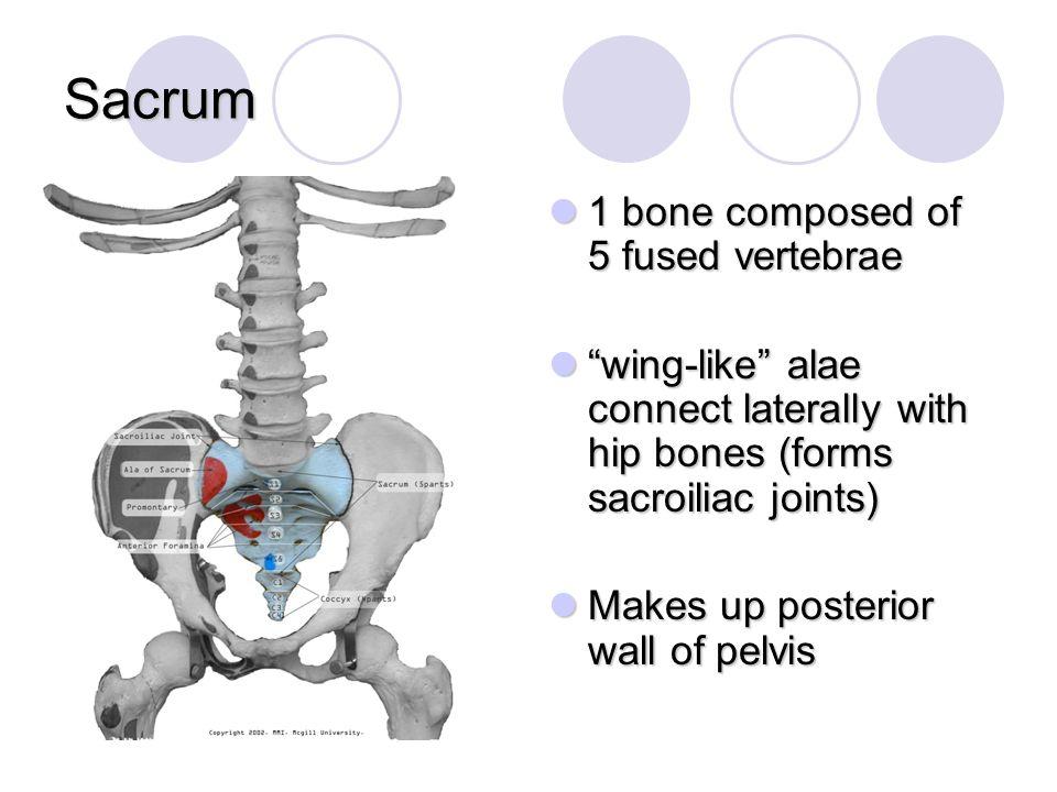 Sacrum 1 bone composed of 5 fused vertebrae
