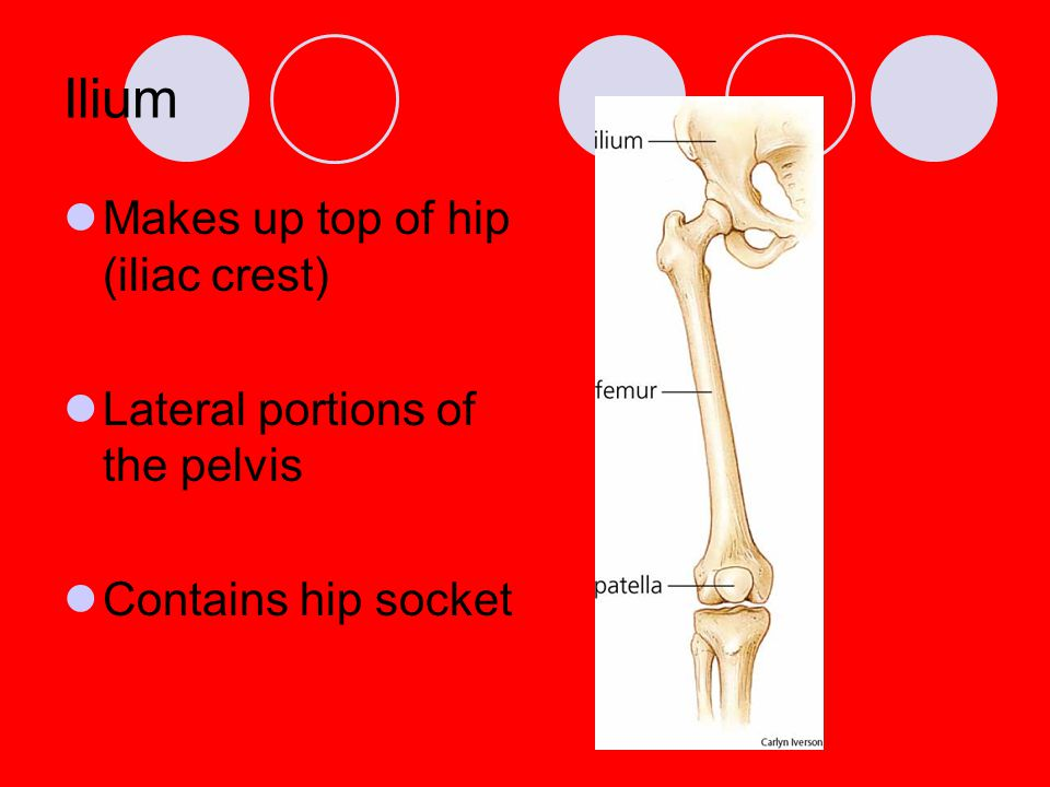 Ilium Makes up top of hip (iliac crest) Lateral portions of the pelvis