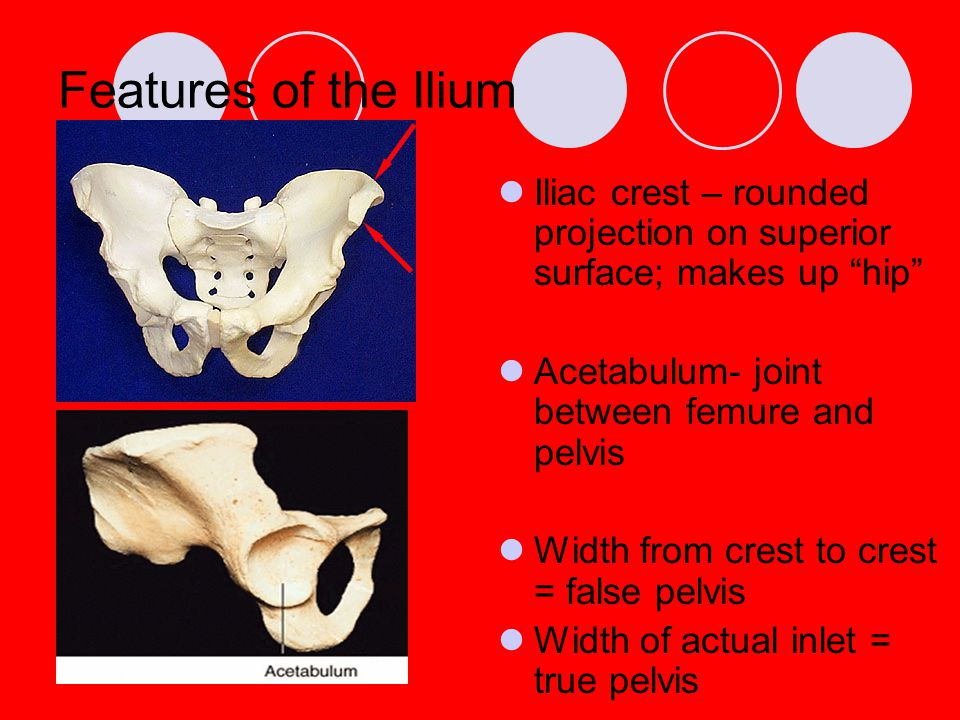 Features of the Ilium Iliac crest – rounded projection on superior surface; makes up hip Acetabulum- joint between femure and pelvis.