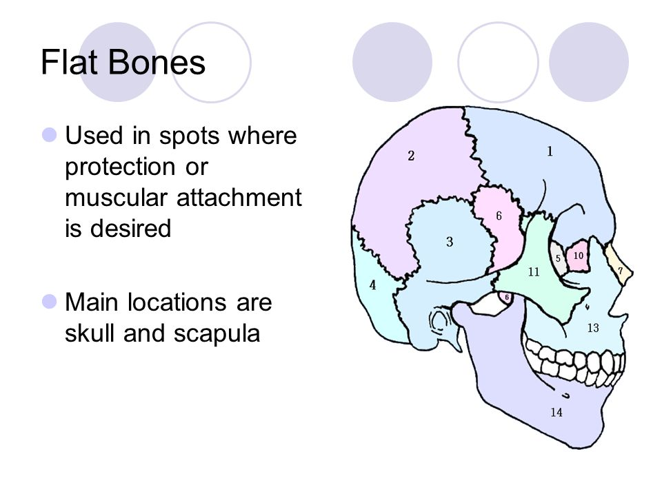Flat Bones Used in spots where protection or muscular attachment is desired.