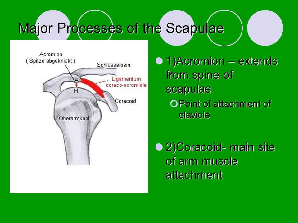 Major Processes of the Scapulae