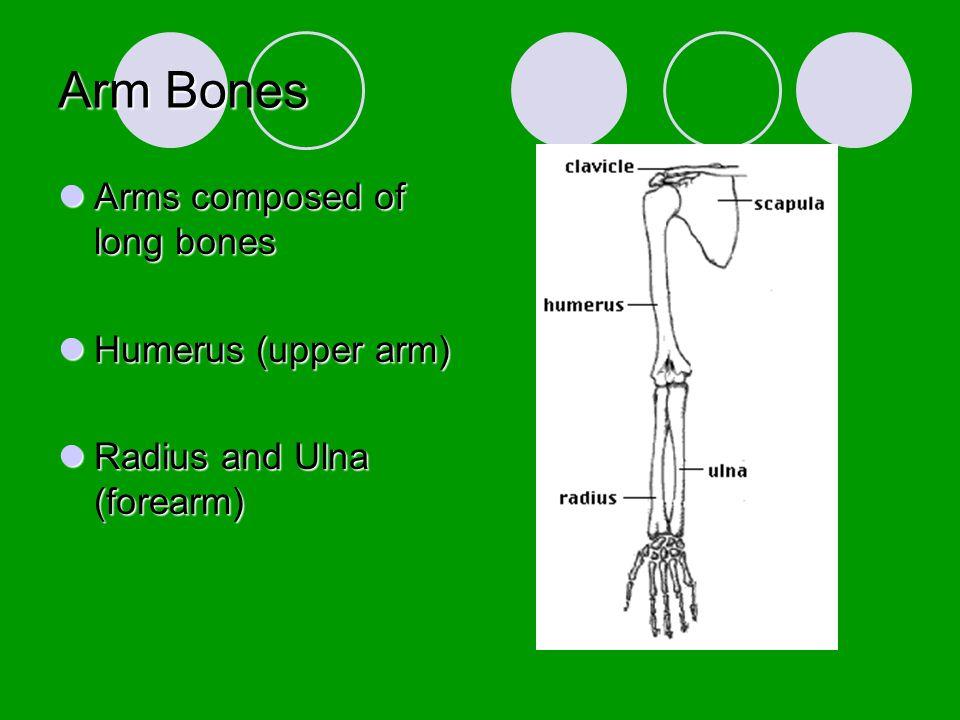 Arm Bones Arms composed of long bones Humerus (upper arm)