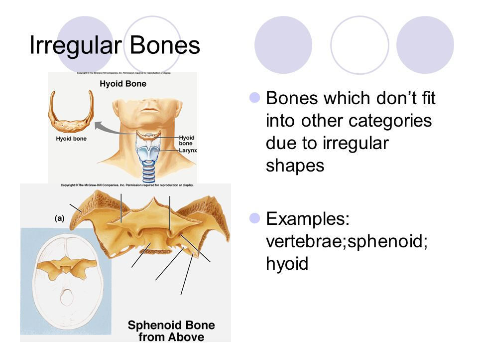 Irregular Bones Bones which don't fit into other categories due to irregular shapes.