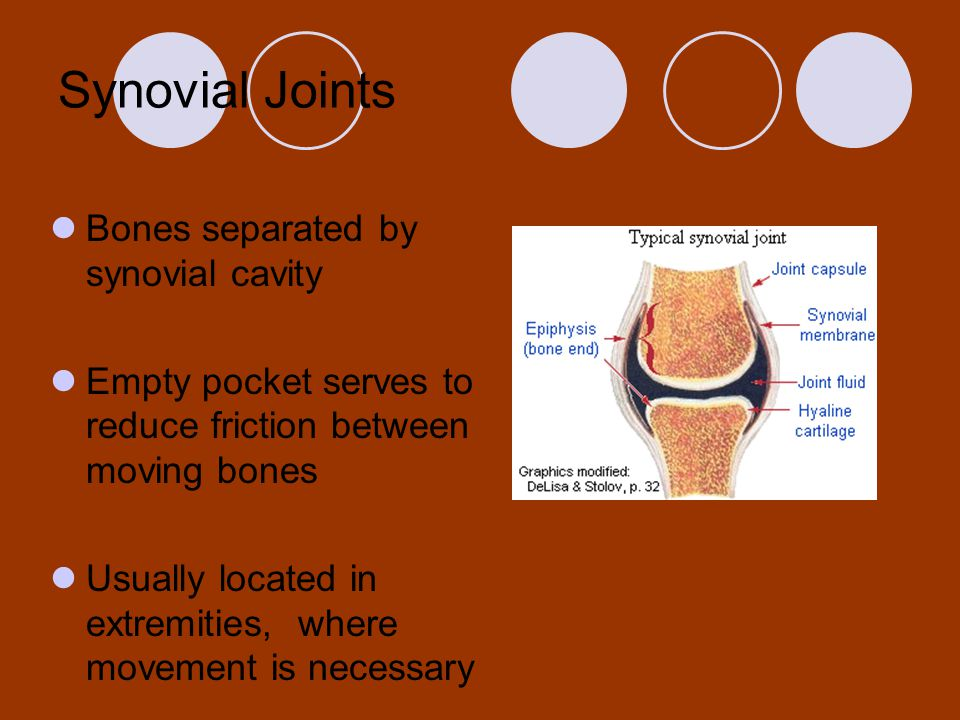 Synovial Joints Bones separated by synovial cavity