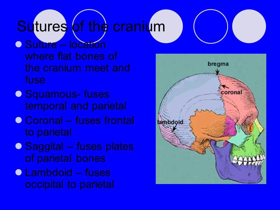 Sutures of the cranium Suture – location where flat bones of the cranium meet and fuse. Squamous- fuses temporal and parietal.