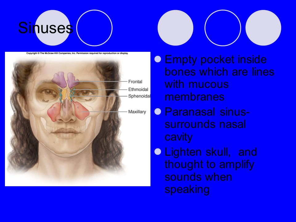 Sinuses Empty pocket inside bones which are lines with mucous membranes. Paranasal sinus- surrounds nasal cavity.