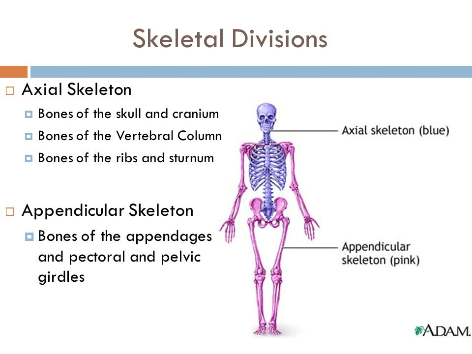 Skeletal Divisions Axial Skeleton Appendicular Skeleton