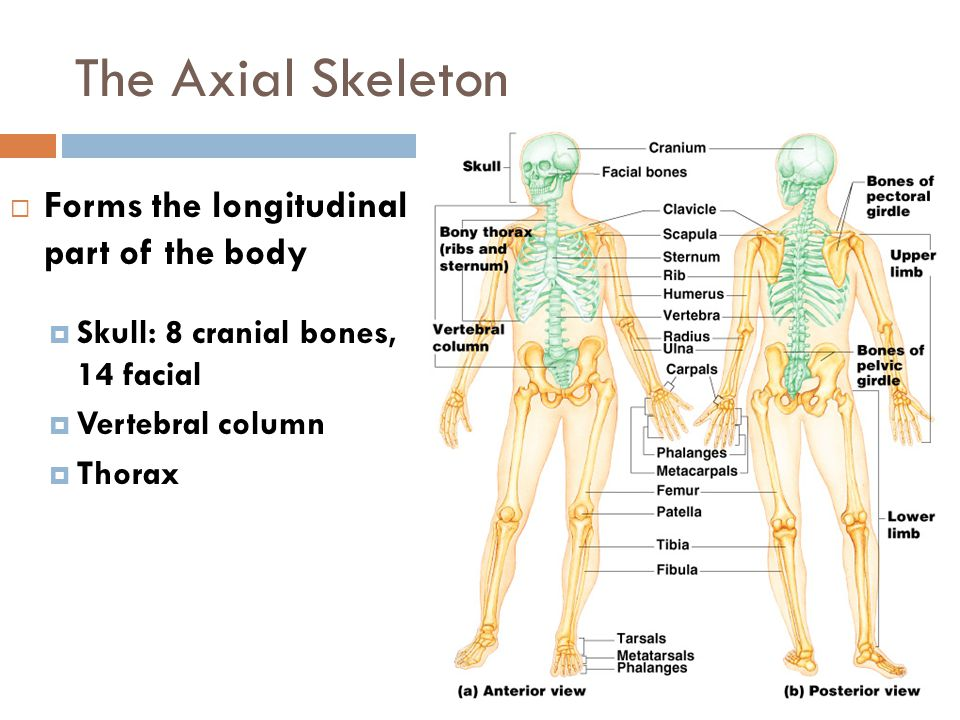The Axial Skeleton Forms the longitudinal part of the body