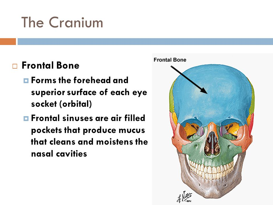 The Cranium Frontal Bone